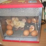 Our chicks are hatching!